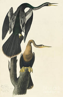 Anhinga Art Print by Celestial Images