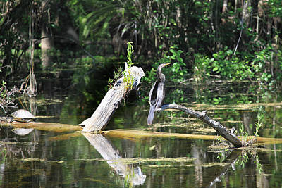 Photograph - Anhinga  by Joseph G Holland