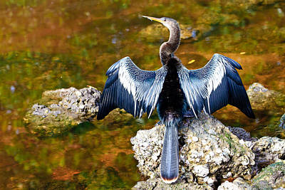 Anhinga On Sanibel Art Print
