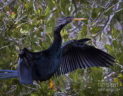 Photograph - Anhinga by Ronald Lutz