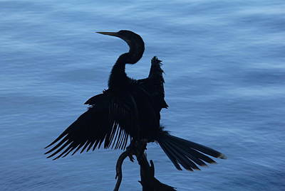 Photograph - Silhouette Of An Anhinga by Denise Mazzocco
