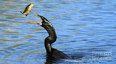 Photograph - Anhinga Volley by Adam Jewell