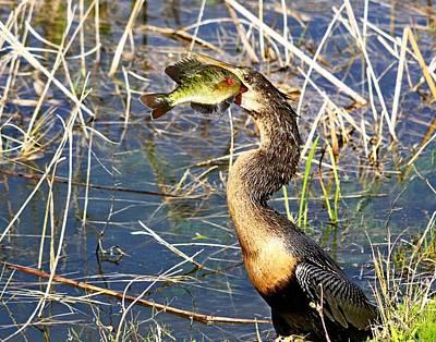 Photograph - Anhinga With Fish by Ira Runyan