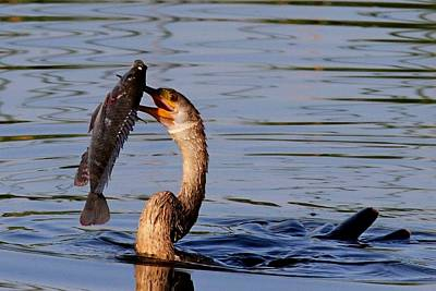 Photograph - Anhinga With Speared Fish by Ira Runyan