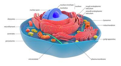 Mitochondrion Photograph - Animal Cell by Science Photo Library