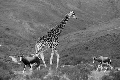 Blesbok Wall Art - Photograph - Animal Crossing by Chris Whittle