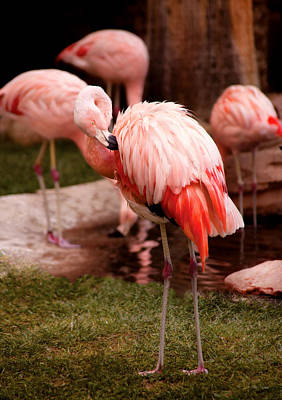 Chillin Photograph - Animal - Flamingo - The Flamingo by Mike Savad