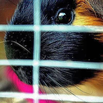 Pet Photograph - Guinea Pig by Jason Michael Roust