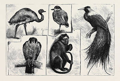 Bird Of Paradise Drawing - Animals At The Zoological Gardens 1. The Red Bird by English School