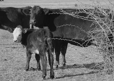 Photograph - animals cows COW WITH CALF  black and white photography by Ann Powell