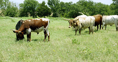Photograph - animals - cows - Summer Grazing by Ann Powell