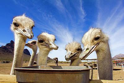 Ostrich Photograph - Animals by Ken Ross