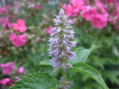 Photograph - Anise Hyssop by MTBobbins Photography