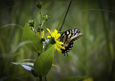 Photograph - Anise Swallowtail 001 by Donald Brown