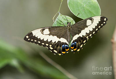 Butterfly Photograph - Anise Swallowtail Butterfly by David Millenheft