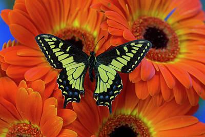 Gerber Daisy Photograph - Anise Swallowtail Butterfly, Papilio by Darrell Gulin