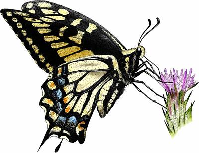 Photograph - Anise Swallowtail Butterfly by Roger Hall