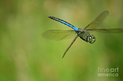 Photograph - Anisoptera In Flight  by Neal Eslinger