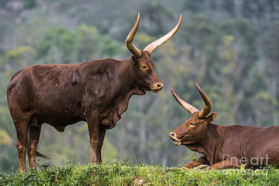 Photograph - Ankole Longhorn 2 by Arterra Picture Library
