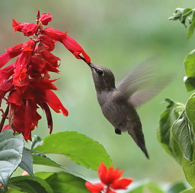 Hummingbird And Flowers Photograph - Anna Hummingbird In Salvia by Angie Vogel