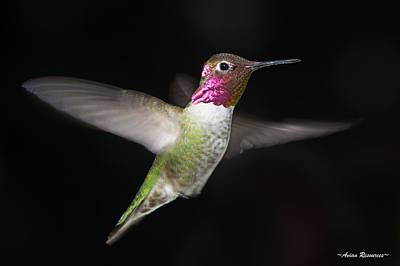 Photograph - Anna's Hummingbird 4 by Avian Resources
