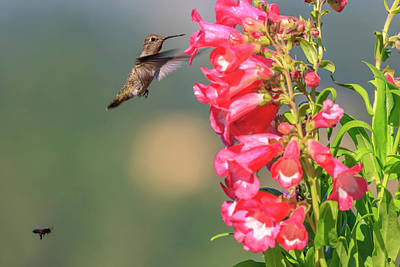 Annas Hummingbird Photograph - Anna's Hummingbird And A Bee by Tom Norring