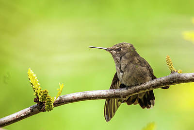 Locust Photograph - Anna's Hummingbird At Rest by Michael Qualls