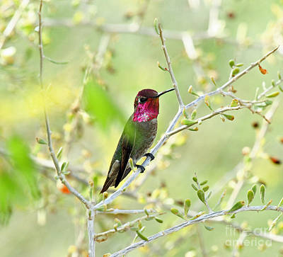 Photograph - Anna's Hummingbird by Butch Lombardi