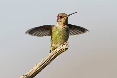Wild Wings Photograph - Anna's Hummingbird (calypte Anna by Larry Ditto
