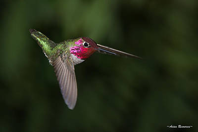 Photograph - Anna's Hummingbird Dive by Avian Resources