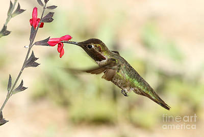 Photograph - Anna's Hummingbird Feeding by Butch Lombardi