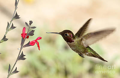 Photograph - Anna's Hummingbird Feeding II by Butch Lombardi