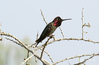 Photograph - Anna's Hummingbird II by Butch Lombardi