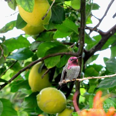 Marilyn Photograph - Anna's Hummingbird by Marilyn Smith