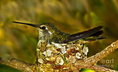 Photograph - Anna's Hummingbird Nesting by Robert Bales