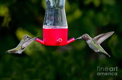 Annas Hummingbird Pair At Feeder Art Print