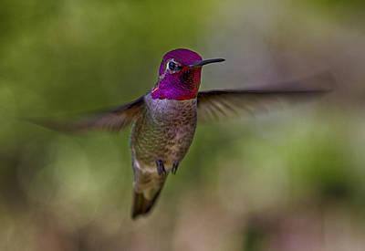 Photograph - Annas Hummingbird by Robert Woodward