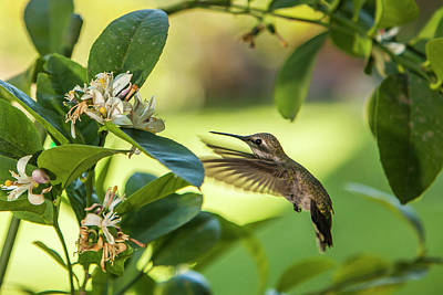 Meyer Photograph - Anna's Hummingbird Sipping At A Meyer by Michael Qualls