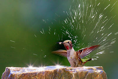 Anna's Hummingbird Taking A Shower Art Print by Tom Norring