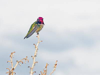 Photograph - Anna's Hummingbird 5437 by Tam Ryan