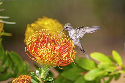 Annas Hummingbirds Wall Art - Photograph - Anna's Hummingbird by Tom Norring