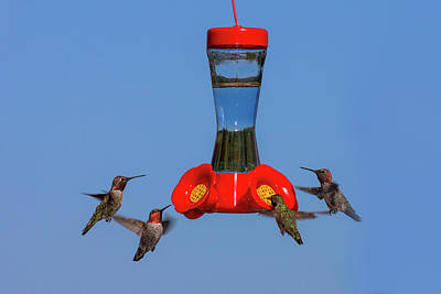 Annas Hummingbird Photograph - Anna's Hummingbirds At Feeder by Tom Norring
