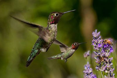 Photograph - Anna's Hummingbirds In Flight by Kathleen Bishop