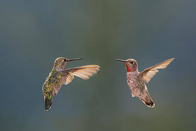 Annas Hummingbird Photograph - Anna's Hummingbirds by Tom Norring
