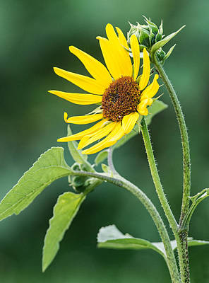 Photograph - Annual Sunflower by Jim Zablotny