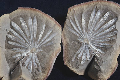 Photograph - Annularia Fossil by Louise K. Broman