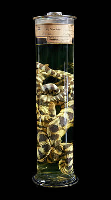 Marine One Photograph - Annulated Sea Snake by Natural History Museum, London