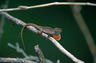 Brown Anole Photograph - Anole Courtship Display by Paul J. Fusco