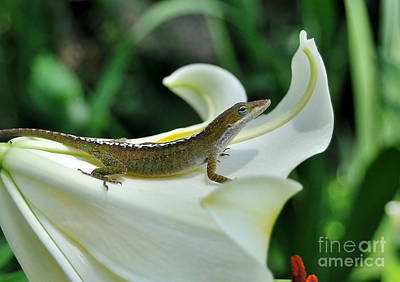 Photograph - Anole On A White Lily by Kathy Baccari