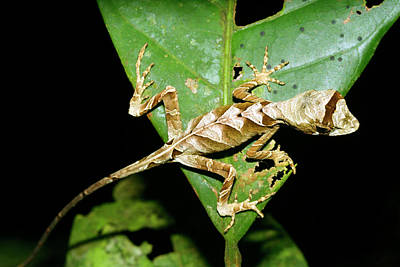 Anolis Lizard Art Print by Dr Morley Read/science Photo Library